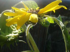 Sonnenblumeklein