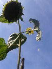 SonnenblumemitTropfen