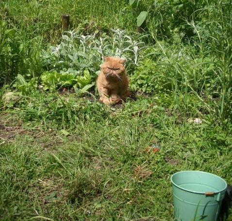 Der Kater im Kräuterbeet 1